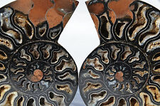 "RARE 1 in 100 BLACK PAIR Ammonite Crystal LARGE 131mm Dinosaur FOSSIL 5.2"" n1923"