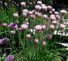 Chives Seeds, Heirloom Herb Seeds, Perennial Herbs, Non-Gmo, Repels Bugs, 400ct