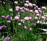 Chives Seeds, Heirloom Herb Seeds, Perennial Herbs, Non-Gmo, Repels Bugs, 100ct