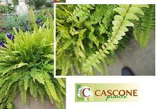 PIANTA DI NEPHROLEPIS FELCE aquilina no cycas araucaria palma verde