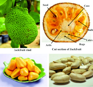 ARTOCARPUS integer Cempedak soft Jackfruit rare Tropical - 10 new Seeds