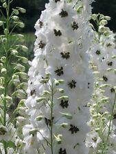 50+ WHITE MAGIC FOUNTAIN DELPHINIUM FLOWER SEEDS / LARKSPUR / DEER RESISTANT