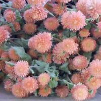 Gomphrena Globosa- Salmon- 50 Seeds      - BOGO 50% off SALE