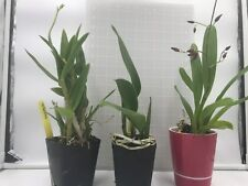 Sale - 3 Large Live Orchids Plants(Cattleya,Oncidium, Dendrobium) -Free Shipping