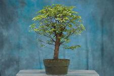 Terrific Tropical Mahogany Pre-Bonsai Tree Produces Red Petioles on New Growth!
