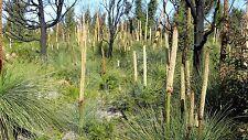 Xanthorrhoea australis - Grass Tree - 10 seeds