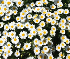 CREEPING DAISY Chrysanthemum Paludosum - 500 Seeds