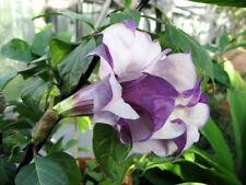 Datura metel Black Currant Swirl 15 seeds FREE SHIP