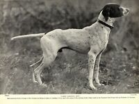1930s Antique Pointer Dog Print Champion Jakes Carolina Boy Pointer 3542-U