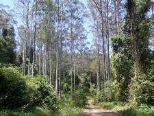 Eucalyptus saligna SYDNEY BLUE GUM - Unique Tree! SEEDS!