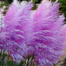 4 PURPLE PAMPAS GRASS  PLANTS 8-10 INCH ORNAMENTAL GRASS NOW SHIPPING