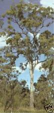 Yellow Box seed (Eucalyptus melliodora) Native Evergreen Drought/Frost Tolerant