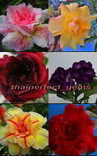 """NEW! ADENIUM """"Mixed 6 Types"""" 6 GRAFTED PLANTS RARE!!"""