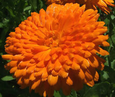CALENDULA ORANGE KING Calendula Officinalis - 20 Seeds