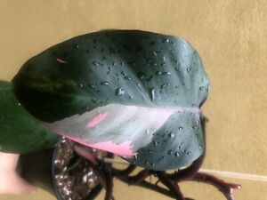 philodendron pink princess 1 leaf fresh cutting with aerial root
