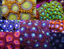 Pack Of 6 Medium Frags of Zoas Zoanthids Zoa Live Coral 'The Reef Island Of Ny'