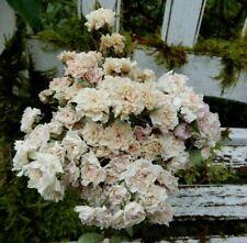 75+ Dried MINI Fairy Rose Flowers Antique Cream Blush Weddings Potpourri Crafts