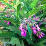 Medicinal Seeds, Comfrey, Symphytum Officinale, 100 seeds per pack, Organic,