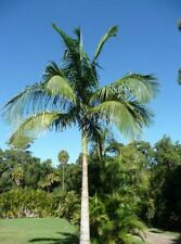 BANGALOW PALM – ARCHONTOPHOENIX CUNNINGHAMIANA - FAST GROWING NATIVE PALM