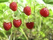 100 Graines de Fraise des Bois - fruit jardin potager méthode BIO