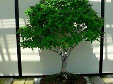 20 Japanese Elm, JAPANESE ZELKOVA Zelkova Serrata Bonsai Tree Seeds