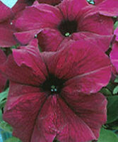 Petunia Seeds 50 Pelleted Petunia Seeds Supercascade Burgundy