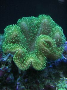 Toadstool Mushroom Leather Coral Frag Tan Green marine soft corals LPS SPS Frags