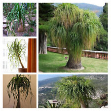 30pcs Rare Palm TreeBamboo Seeds (Phoenix canariensis) Perennial Evergreen Decor