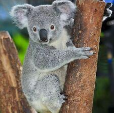 Koala Bear Portrait Cute Animal Nature Art Poster 19'' x 19''