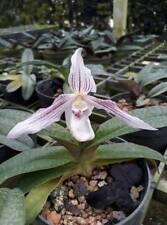 Paphiopedilum philippinense x niveum orchid plant BLOOM SIZE CITES PHYTO