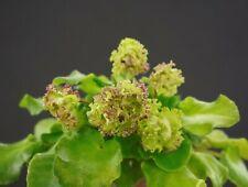 Allegro Pink Pistachio Blatt/leaf African Violet Usambaraveilchen