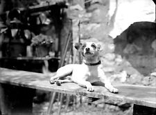 Chiens Jack Russel Terrier ? - ancien négatif photo verre an. 1920 30