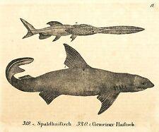 HAI - Spatelhaifisch & Gemeiner Haifisch - Lithografie 1831