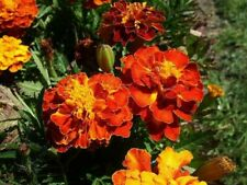 Oeillets d'Inde Bolero 🌟Comestible🌟 - Graines x50 (🌿 culture BIO) seeds seed
