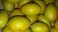 Moroccan Fresh Seeds Of Argan Tree Very Rare Argania Spinosa Harvest New 2Lbs