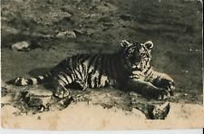 1931 ZOO MOSCOW Tiger of Oussouriisk RARE OLD RUSSIAN vintage Postcard