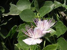 CAPPARIS SPINOSA var. INERMIS 1000 semi seeds Caper Cappero