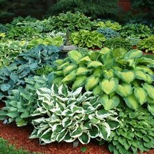 Hosta Bumper Crop Mix 10 Healthy Bare Root Hostas Fabulous Color & Texture for S