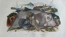Gravure en couleur XIXè s. Raies: bouclée, Mourine, céphaloptère