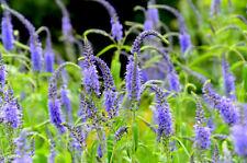 "Longleaf Speedwell (Veronica longifolia) ""Blue Shades"" x 100 seeds"
