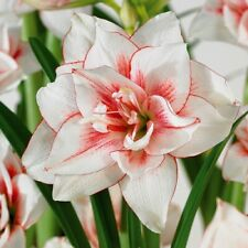Amaryllis Bulbs Ice Queen Perennial Barbados Lily Flower White Pink Double Hardy