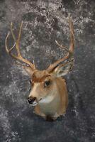 SKU 1157 Mule Deer taxidermy mount for sale  5 x 5