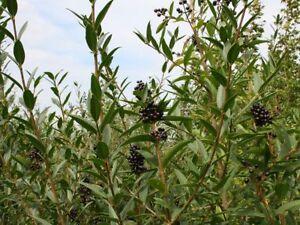 QTY-8 Common Wild Privet, Ligustrum vulgare 3ft Starter Transplant Seedlings #RB