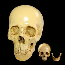 1:1 Size Life Human Anatomical Anatomy Resin Head Skeleton Skull Teaching Model