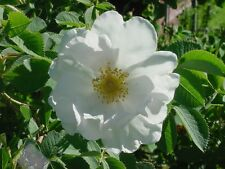 6 graines ROSIER DU JAPON BLANC (Rosa Rugosa Alba)G670 WHITE RUGOSE ROSE SEEDS