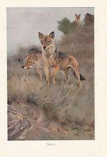 c1914 NATURAL HISTORY PRINT ~ WOLF ~ LYDEKKER