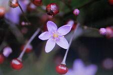 10 Samen Tu Ren Shen,Talinum paniculatum#417