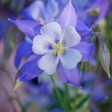 "Superbe Ancolie Aquilegia Rose et Blanc  /""Nora Barlow/"" 50 Graines 50 Seeds Zaden"