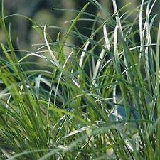 20 x TALL MONDO GRASS Ophiopogon japonicas ornamental border plants in 40mm pots