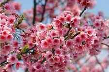 10 Cherry Blossom Seeds Sakura Oriental Cherry S027